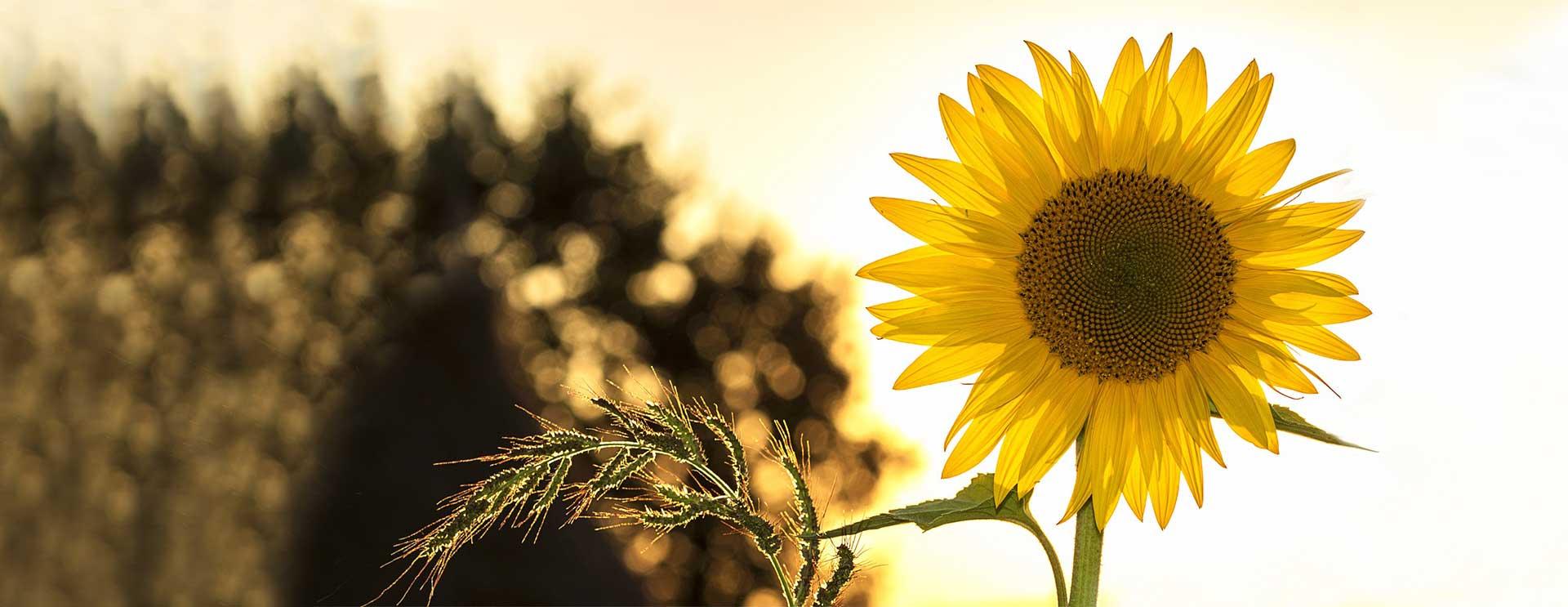 slide_sunflower22