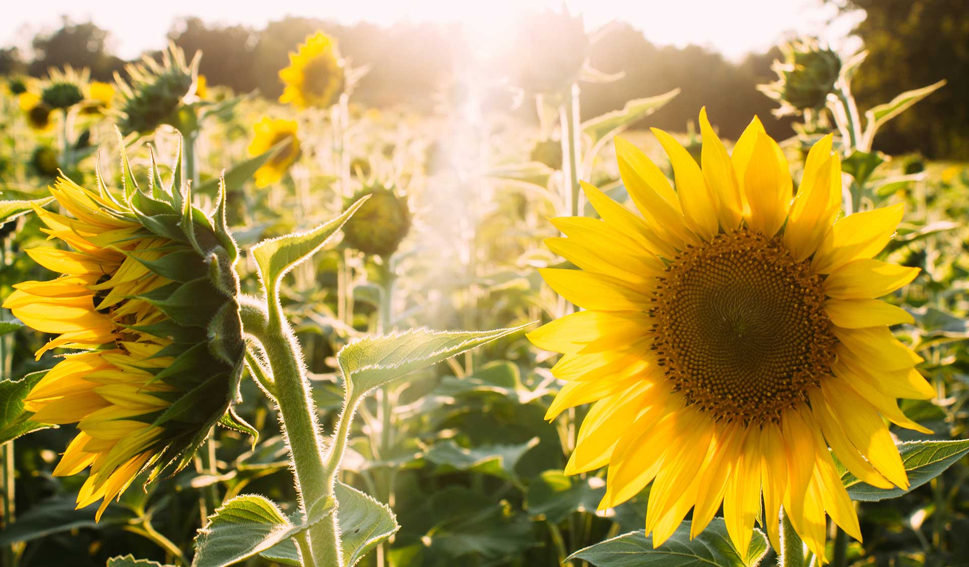 slide_sunflower3